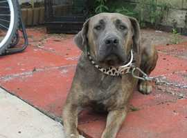cane corso female 2 years old