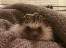 8 month male pygmy