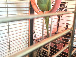 Ringneck talking parrot
