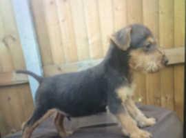 Lakeland terrier x Patterdale terrier puppies