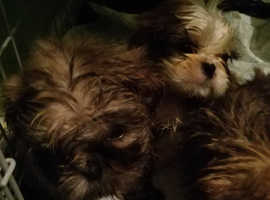 Gorgeous Shihtzu Puppies