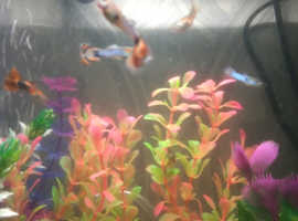 tropical fish guppies lovely colours