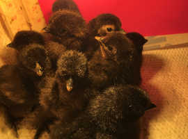 Day old and 5 week old bantam x silkie chicks