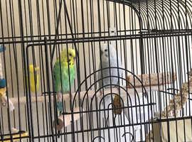 Aviary life needed for 2 budgies