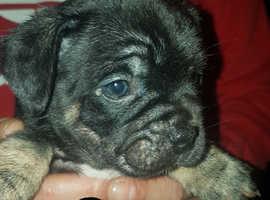 French bulldog x pug x pups