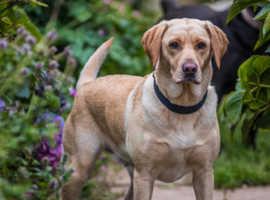 KC Registered Labrador Retriever puppies for sale