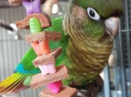 Maroon-bellied Conure/Parakeet to rehome