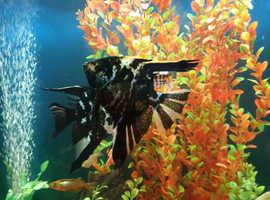 Angel fish (Large)