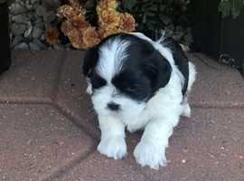 Beautiful shih tzu puppy female