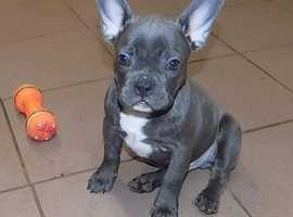 Quality Litter of blue French Bulldog pups