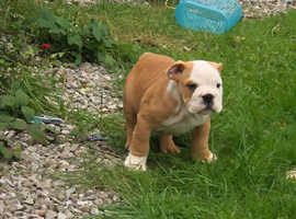 English bulldog puppies ready now!