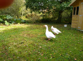 2 male geese