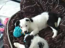 Border Collie Pups Ready to leave