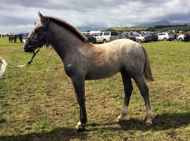 Irish Draught Filly Foal for Sale