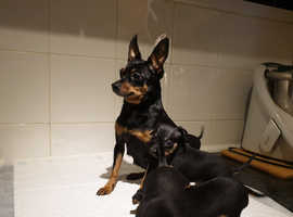 4 miniature pinscher puppies