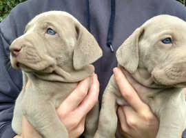 Top Class Weimaraner Puppies K.c Reg.
