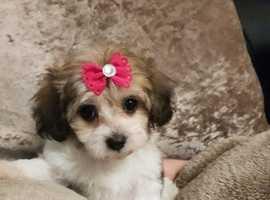 Maltipoo puppy's