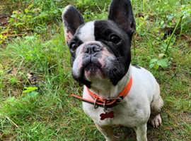 Male 4 year old French bulldog