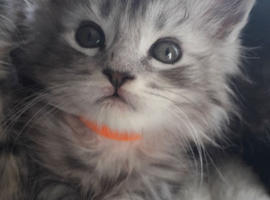 Gccf Registered Maine Coon Kittens looking for their forever home now
