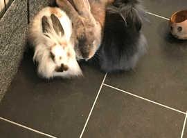 1x baby rabbit left