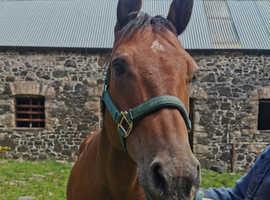 14 hh Quarter horse mare