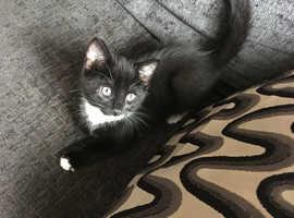 CUTE BLACK/WHITE  MALE KITTEN VET CHECKED CAN DELIVER