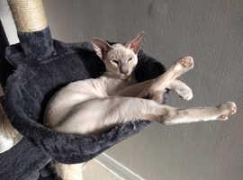 Beautiful GCCF Siamese kitten