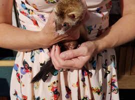 2 gill baby ferrets