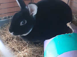 18 month old male rabbit and hutch for sale