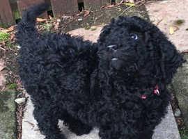 Adorable Labradoodle Puppies (Standard poodle size)