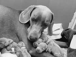 Stunning Silver Quality Kc Registered Weimaraner Pups