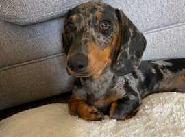 Handsome Male Dachshund Puppy