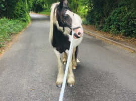 13.2 beautifully natured cob mare