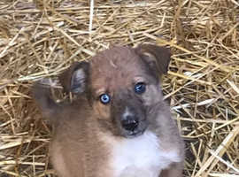 Only one left! Collie puppy