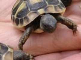 Wanted tortoise breeding  pair