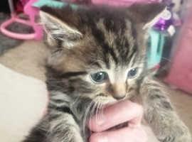 Female Tabby kitten