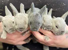 Mini Rex bunnies