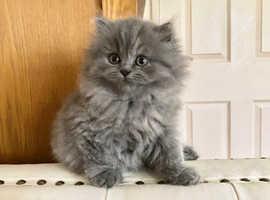 Stunning British Shorthair Variant Kitten