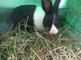 Dutch Male bunnie rabbit