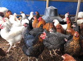 Hybrid laying hens - point of lay - all colours