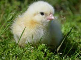 Light Sussex chicks