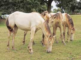 Champagne Fillies Quarter Horse, Andalusian, Friesian, Paint Horse, Warmblood