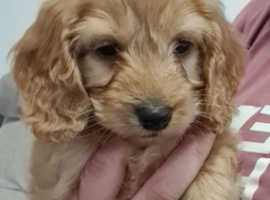 11 week old apricot cockapoo puppy,girl
