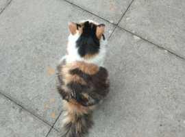 Cat - mixed breed