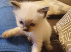 Ragdoll Kittens born 31st January