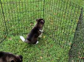 High live attractive Akita puppies