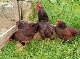 Quartet Rhode Island Red Bantams