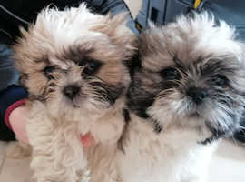 2 beautiful male 10 week old Shiz Tzu pups looking for loving new homes