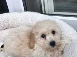 Beautiful POOCHONS  puppies for sale PRA CLEAR