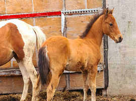 stunning red dun colt